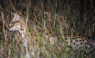 Un serval en Afrique du Sud en 2012.
