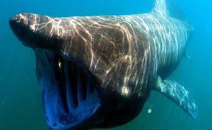 Le requin pèlerin est le second plus grand poisson du monde après le requin baleine.