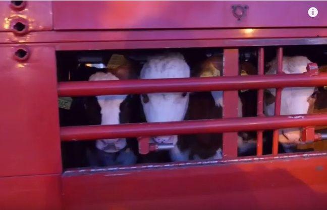 La CIWF dénonce les conditions de transports des veaux dans une vidéo