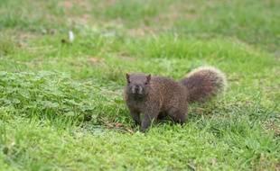L'écureuil de Pallas a été introduit au cap d'Antibes dans les années 60