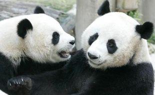 Un panda géant du zoo de Chiang Mai, dans le nord de la Thaïlande, a fait une fausse couche, anéantissant les espoirs de la naissance d'un deuxième petit dans un pays passionné par ces ours blancs et noirs.
