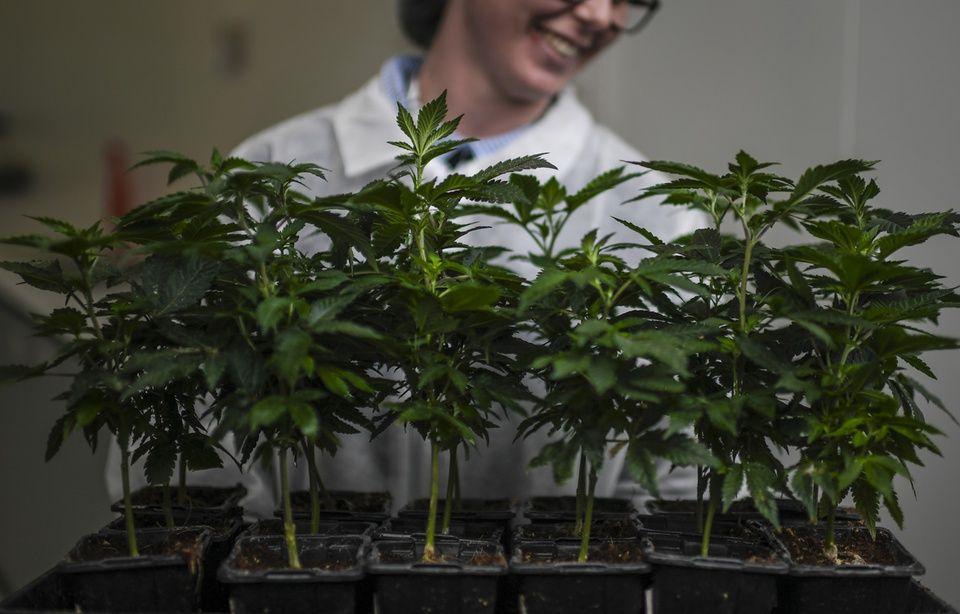 Pour l'heure, on ignore encore qui fournira le cannabis thérapeutique qui sera prescrit dans le cadre de l'expérimentation française prévue début 2020.
