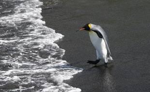 Des pingouins de l'île de la Possession dans l'archipel de Crozet.
