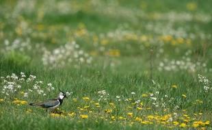 Le Conseil d'État a interdit la chasse traditionnelle d'oiseaux tels que le vanneaux huppés