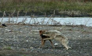 Attaqué par un loup dans le parc de Yellowstone aux Etats-Unis, le bébé bison ne s'est pas laissé faire.
