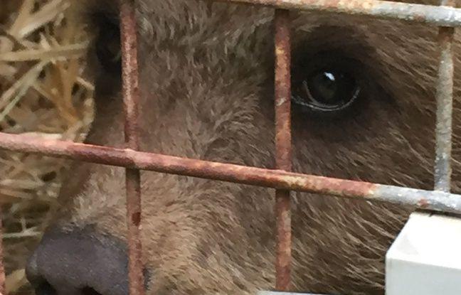 Tarn: L'ourson fugueur recueilli en Ariège s'est évadé de son «infirmerie», un appel à témoins lancé