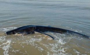 Le requin pèlerin échoué à La Panne (Belgique) le 29 octobre 2016