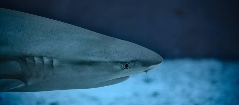 Illustration d'un requin.