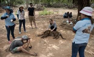 147 tigres ont été confisqués en 2016 à un temple thaïlandais qui les utilisait comme attraction touristique.