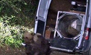L'ours Balou réintroduit dans les Pyrénées en juin 2006.