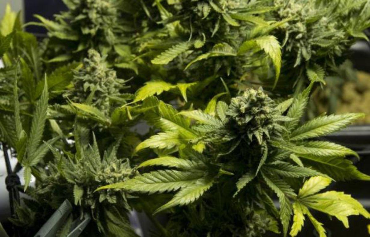 Des plans de cannabis – Pablo Porciuncula AFP