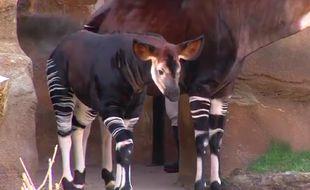 Un bébé Okapi