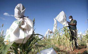 Un agriculteur du Botswana masqué couvre le sorgho dans son champ pour le protéger des oiseaux (2020)