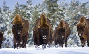 Les derniers spécimens français de bisons d'Europe vous attendent en Lozère.