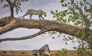 Un léopard et un zèbre observés lors d'un safari au Botswana en octobre 2019.