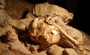 L'australopithèque sud africain, Little Foot.