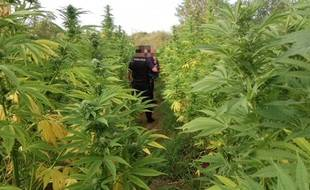 Environ 150 pieds de cannabis poussaient sur un terrain du quartier Doulon