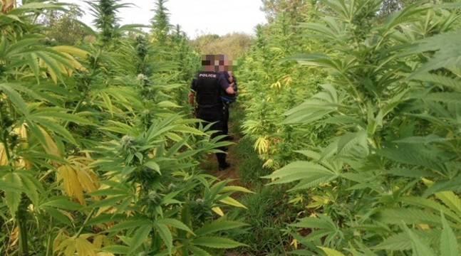 Nantes : Environ 150 pieds de cannabis découverts sur un terrain de la ville