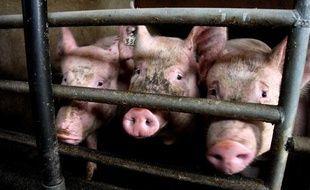 Exploitation porcine à Douarnenez, en Bretagne.