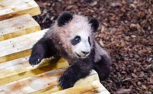 Le panda Yuan Meng lors de sa première sortie publique dans son enclos du ZooParc de Beauval (Loir-et-Cher) le 13 janvier 2018.