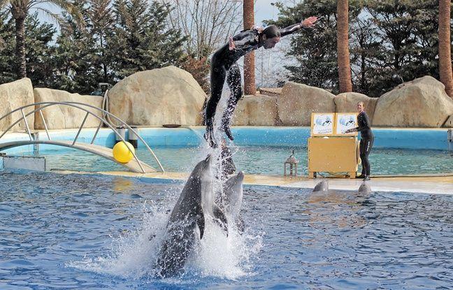 """Durant un nouveau spectacle avec les dauphins, alors que Marineland promet """"moins de performances avec les soigneurs"""""""