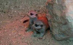 Les deux bébés suricates nés en mars 2016 au zoo de Plaisance-du-Touch, près de Toulouse.