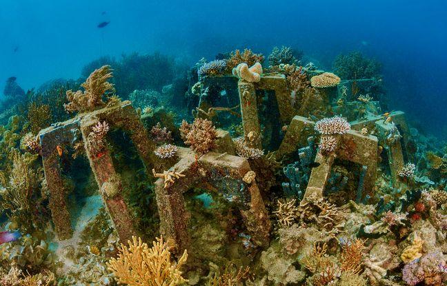 Avec le biologiste Thomas Pavy, Frédéric Tardieu a mis au point une méthode de bouturage des coraux, à partir de petits modules en béton, immergés et sur lesquels ils fixent des coraux cassés.