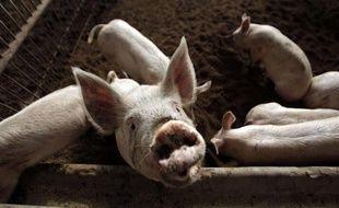 Des porcs dans un élevage en Chine.