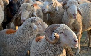 Des moutons avant leur abattage pour l'Aïd-El-Kébir. (Illustration)