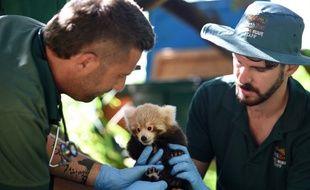 rois pandas roux, espèce en danger, ont été sauvés des braconniers au Laos le mois dernier.