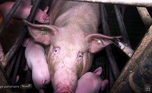 L'association L214 dénonce dans une vidéo le traitement réservés aux cochons dans des élevages bretons