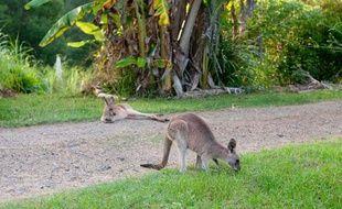 Illustration: Des kangourous, en Australie.
