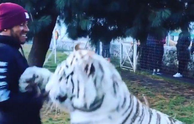 video quand lewis hamilton est en vacances il fait des c lins des tigres et vous. Black Bedroom Furniture Sets. Home Design Ideas