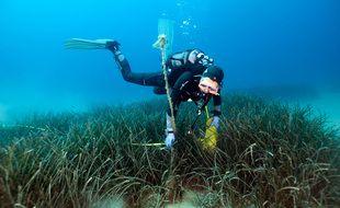 Des plongeurs vont partir à la recherche de Grandes nacres juvéniles