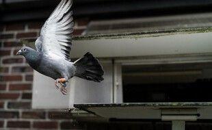 Un pigeon voyageur belge. (illustration)