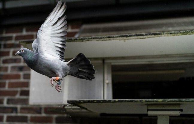 648x415 pigeon voyageur belge illustration