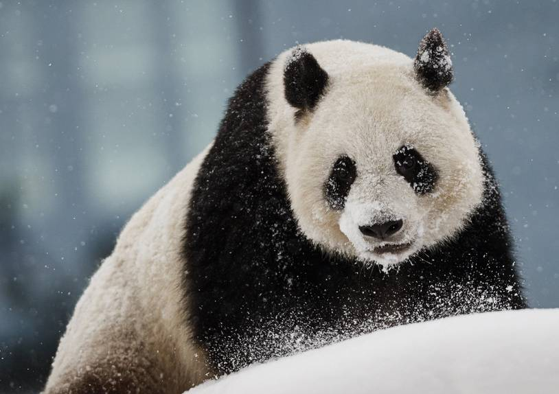 Female panda Lumi plays in the snow in her enclosure during the opening day of the Ahtari Zoo Snowpanda Resort in Ahtari, Finland on February 17, 2018.