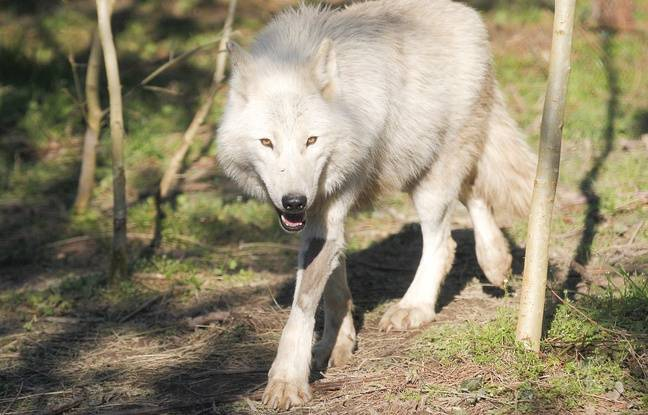 Un loup dans le parc du sentier des daims