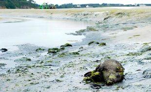 Un sanglier mort est photographié le 26 juillet 2011 dans une anse de la baie de Saint-Brieuc sur la commune de Morieux.