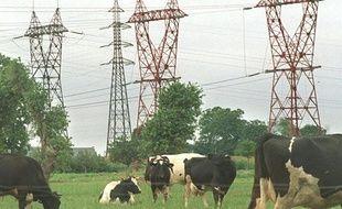 Des vaches broutent près des pylones supportant des lignes à haute tension.