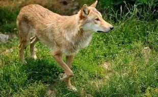 Le préfet du Var a ordonné par arrêté un tir de prélèvement de loup afin de protéger les troupeaux qui pâturent sur le camp militaire de Canjuers.