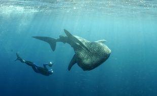Un requin-baleine.