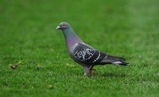 La course de pigeons a été le premier sport à reprendre en Angleterre (illustration).