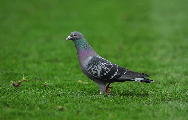 Belgique: Vendu 1,25 million d'euros, Armando devient le pigeon voyageur le plus cher de son espèce