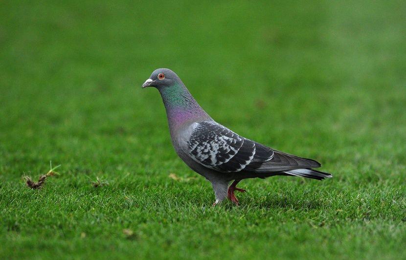 Belgique Vendu 1 25 Million D Euros Armando Devient Le Pigeon