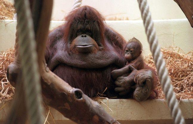 Nénette et son bébé Dayu le 16 décembre 1999 au Jardin des Plantes à Paris.