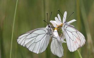 Des papillons au conservatoire du littoral de Soumeix.