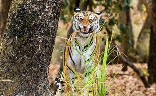 Des indiens pauvres livrent leurs parents âgés aux tigres pour toucher une indemnité