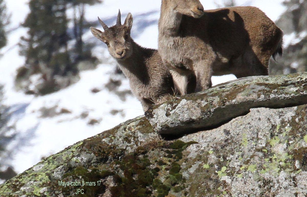 Un cabri et sa mère, Maya, dans le Parc national des Pyrénées. – J. P. Crampe