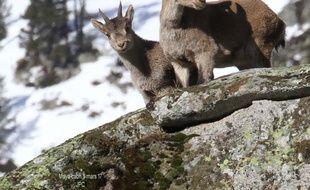 Un cabri et sa mère, Maya, dans le Parc national des Pyrénées.